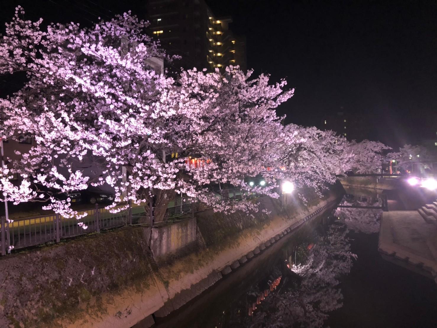 柿川の桜のライトアップ